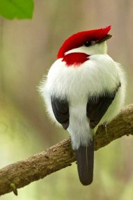 bird red and white